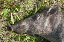 A Large Wild Dead Boar Lies On...