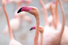 Closeup Of A Flamingo Under Th...