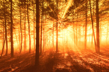 Sun Beams Pour Through Trees In Foggy Forest