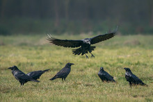 Common Raven (Corvus Corax)  I...