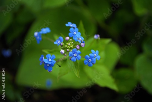 Close up of itty bitty Blue forget me not in my garden myosotis alpestris sylvatica