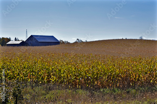 Vászonkép field of cornstalks under a blue sky