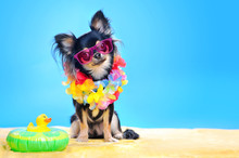 Chihuahua Dog At The Beach Wearing Pink Sun Glasses