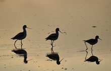 Three Black-necked Stilts (Him...