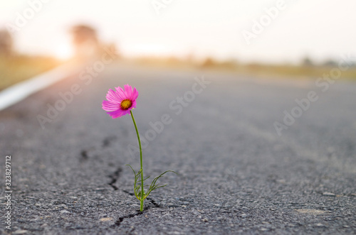 close up, purple flower growing on crack street background. - 323829712