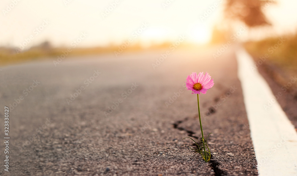 Fototapeta Close up, Pink flower growing on crack street sunset background