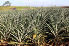 Pineapple Field At Honolulu Ha...