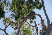 Close-up View Of The Unusually Crooked And Bent Branches And Trunk Of An Eucalyptus Tree