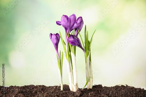 Obraz na płótnie Beautiful blooming crocus flowers in ground. Springtime