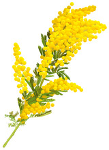 Yellow Mimosa Flower Branch Of...