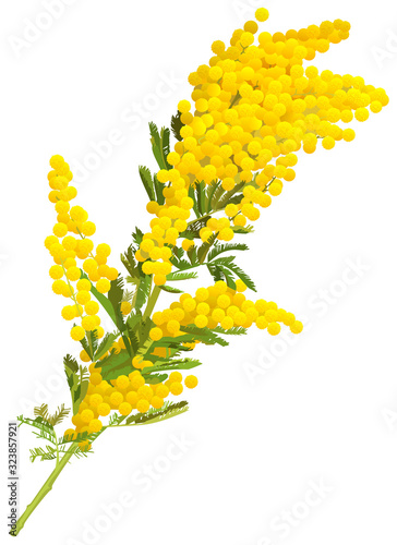 Yellow mimosa flower branch of acacia isolated on white background Wallpaper Mural