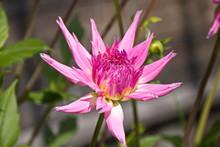 Dahlia Rosebud (Dahlia), Close...