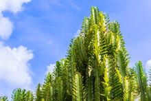 Fresh Candelabra Cactus Trees