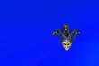 Leinwanddruck Bild - Venetian carnival mask on a blue background. Flat lay, copy space, top view.