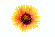 Gold Coreopsis Tinctoria Flower. Plains Coreopsis Isolated On White Background