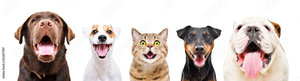 Fototapeta Portrait of five cute funny pets, closeup, isolated on a white background