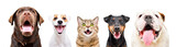 Fototapeta Zwierzęta - Portrait of five cute funny pets, closeup, isolated on a white background
