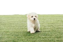 Cute Havanese Puppy On Green G...