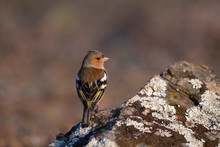 Chaffinch Bird On A Rock With ...