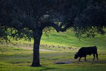 Spanish Fighting Bull In Dehesa Woodland Landscape