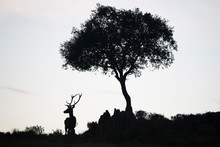 Silhouette Of A Deer Stag And ...