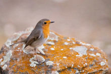 European Robin Bird On A Rock ...