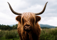 Scottish Highland Cattle In Scotland