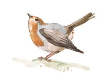 Hand-drawn Watercolor Robin Bird Isolated On White Background. Ideal For Decorating A Nursery, Textiles And Packaging. Erithacus Rubecula. Element For Packaging Design.