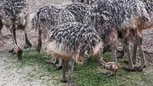 Many Emus Eating Greens. Feed ...