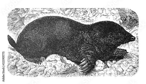 Fotografie, Obraz Mole (Talpa europaea) European mole Antique engraved illustration from Brockhaus