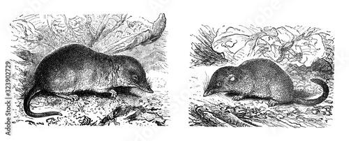 Fototapeta Sorex pygmaeus and Sorex vuolgaris shrew-mouse Antique engraved illustration fro