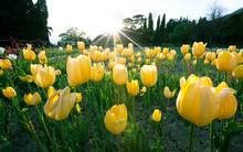 Beautiful Mesmerizing Field With Yellow Tulips Located In The Center Of A Parake And Centuries-old Trees On A Sunny And Warm Summer Day. Concept Of Growing Flowers For Sale