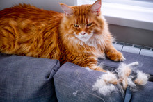 Ginger Maine Coon Cat And Comb...