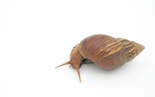 Closeup Snail Isolated On White Background