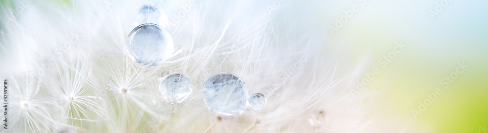 Fototapeta Dandelion seed with dew drops. Beautiful soft spring background. Copy space. Soft focus abstract background.