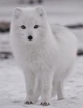 White Arctic Fox In A Snowy Tu...