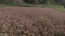 Drone Flying Over A Pink Flower Field