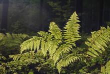 Wild Ferns In A Forest Sonian
