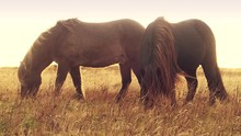 Icelandic Horses Grazing On A ...