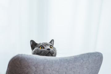 Playful British cat peeking out behind chair