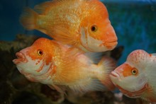 Closeup Shot Of Cichlid Fishes...