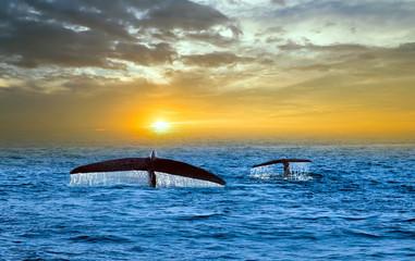 Panel Szklany Zwierzęta Tale Blue Whale Watching in Sri Lanka marine life indian ocean Mirissa