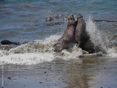 Obraz na plátně two walruses fighting at californian beach