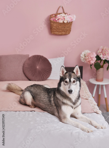 Husky dog on bed in interior of pink Canvas Print