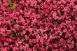 Leinwanddruck Bild - Inflorescences of blossoming red begonia at sunny day. Summer nature. Garden, seasonal gardening. Flowers of red begonia. Blossoming red begonia. Bloom. Summer blossom. Wallpaper with flowers. Photo