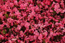 Inflorescences Of Blossoming Red Begonia At Sunny Day. Summer Nature. Garden, Seasonal Gardening. Flowers Of Red Begonia. Blossoming Red Begonia. Bloom. Summer Blossom. Wallpaper With Flowers. Photo