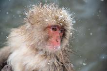 Snow Monkey At Jigokudani Park...