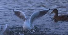 Screaming Seagulls Aggressive ...