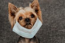 Dog Yorkshire Terrier In A Med...