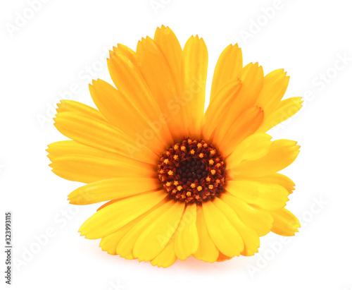 Obraz Beautiful blossoming yellow marigold isolated on white background. Calendula officinalis. - fototapety do salonu